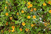 Ilima papa, Sida fallax, Maui Nui Botanical Gardens, Kahului, Maui, Hawaii