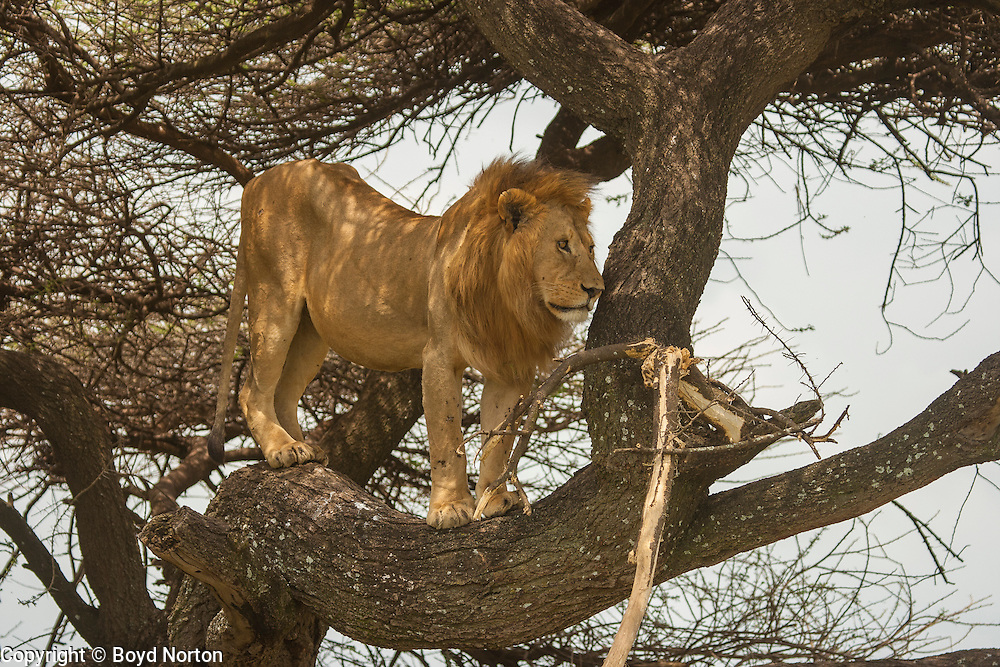 Male lion resting in tree to escape bugs, Serengeti National Park, Tanzania