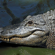 Closeup of an American Alligator, Alligator mississippiensis. Cape May County Zoo, Cape May Courthouse, New Jersey, USA