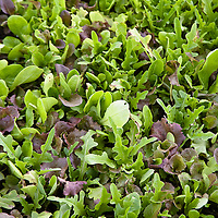 Mixed lettuce mesclun