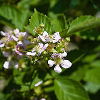 Blackberry flowers