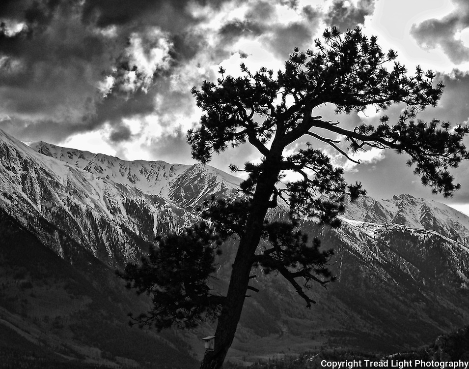 Closeup of the lone tall pine tree near Twin Lakes, CO.  The high Sawatch Range of the Colorado Rockies looms in background.