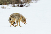 A Coyote running off a Red Fox from a carcass in Yellowstone National Park