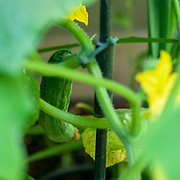 Yellow Cucumber blossom and a full grown cucumber on a plant in an urban vegetable garden
