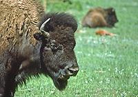 Cow Bison (Bison bison).  Custer State Park, South Dakota, USA.