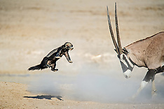 Honey badger fight at a waterhole - 27 Feb 2018