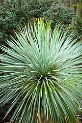 Yucca rostrata in winter.