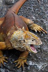 Galapagos Land Iguana (Conolophus subcritatus)