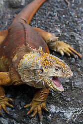 A Galapagos Land Iguana (Conolophus subcritatus) opens it's mouth, Charles Darwin Research Station, Galapagos Islands National Park, Santa Cruz Island, Galapagos, Ecuador