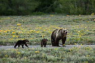 Grizzly Bear - Grand Teton National Park, WY