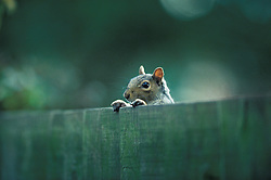 Eastern grey squirrel (sciurus carolinensis) looking over the fence of a domestic garden, Leicester, England, UK.