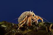 [captive] Hermit Crab (Pagurus bernhardus, Syn.: Eupagurus bernhardus) | Gemeine Einsiedlerkrebs (Pagurus bernhardus, Syn.: Eupagurus bernhardus). Sein Schneckenhaus ist mit einem Stachelpolypen (auch Hydroidpolyp) (Hydractinia echinata) besiedelt. Multimar Wattforum, Tönning Deutschland