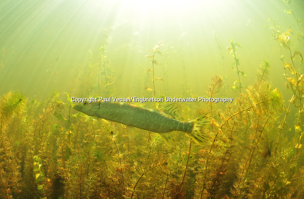Northern Pike (juvenile)<br /> <br /> Paul Vecsei/Engbretson Underwater Photography