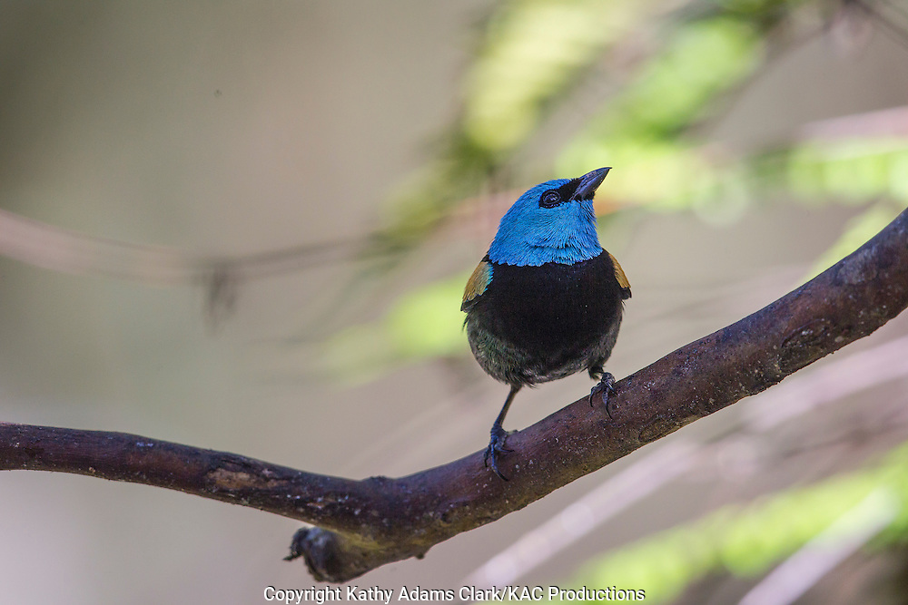 Blue-necked tanager; Tangara cyanicollis, Inkaterra Machu Picchu; Inkaterra Machu Picchu Pueblo Hotel; Peru; Augas Calientes;