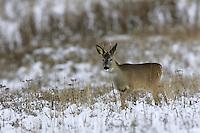Roe Deer (Capreolus capreolus), the Carpathians; Carpathian Mountains; Bieszczady Mountains; Poland.