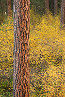 Ponderosa Pine (Pinus ponderosa) and Vine Maples (Acer circinatum) Deschutes National Forest Oregon