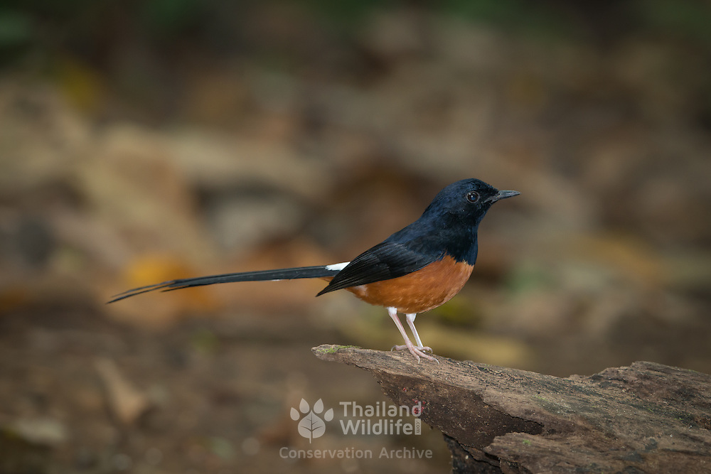 White-rumped shama (Copsychus malabaricus) male in from Kaeng Krachan National Park.