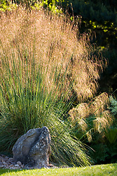 Stipa gigantea. Giant feather grass, Golden oats
