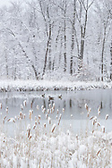 Middletown, New York - Canada geese in a pond with snow-covered cattails and trees during a snowstorm onMarch 8, 2013.