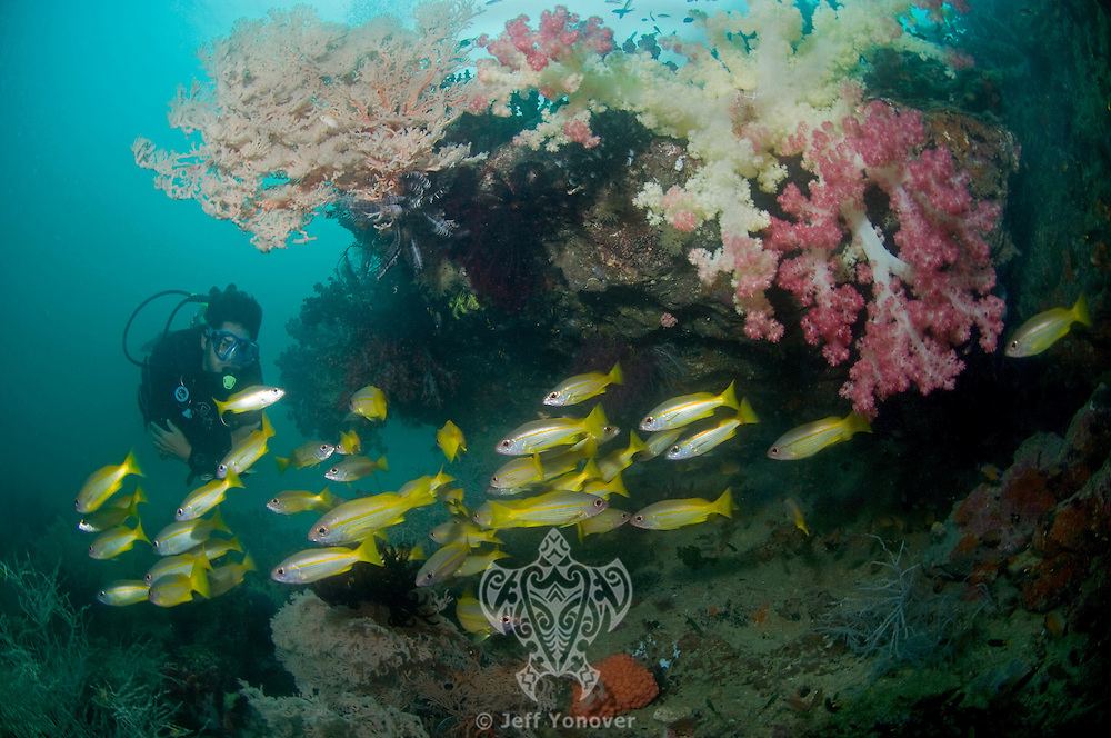 Diver, Snappers, and Soft Corals