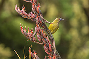 Freshly flowering flax brings honeyeaters such as the bellbird out of the forest and into the open.  Southland, New Zealand.