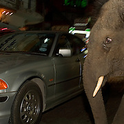 "Bangkok, Thailand - FEB 17 2006: A young elephant almost collides with a car on the streets of Bangkok. The official reason ""domesticated"" elephants are illegal in cities is because they are involved in so many traffic accidents. City life is terrible for the elephant - they can eat between 250 - 525 pounds of food a day in the wild - about six to eight percent of their own body weight in vegetation each day. To accomplish this, they spend as many as 18 hours per day feeding. These massive animals can drink 26 gallons (100 liters) of water at one time and, when thirsty, more than 55 gallons (208 liters) within minutes. Obviously, city life is not friendly to these needs. Asian elephants - strong, social, and intelligent - have been trained for thousands of years for use in transportation, labor, and ritual. In Thailand, Elephants are of immense cultural importance, but their numbers are shockingly plummeting. In 1905, there were over 100,000 elephants in this land - now they are estimated at less than 5,000, of which barely half are in the wild.  (Photo by Logan Mock-Bunting)"