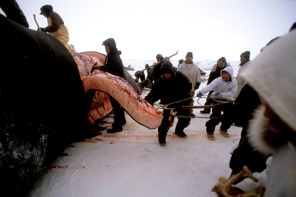 Barrow, Alaska, Blubber is stripped from the carcass of the Bowhead Whale by a team of whalers and community members