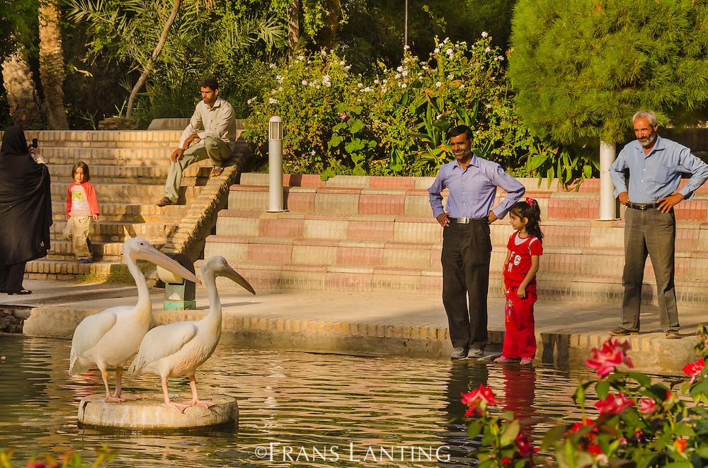 People watching great white pelicans in city park, Pelecanus onocrotalus, Kashan, Iran