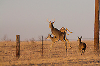 WHITETAIL BUCK CHASING A DOE