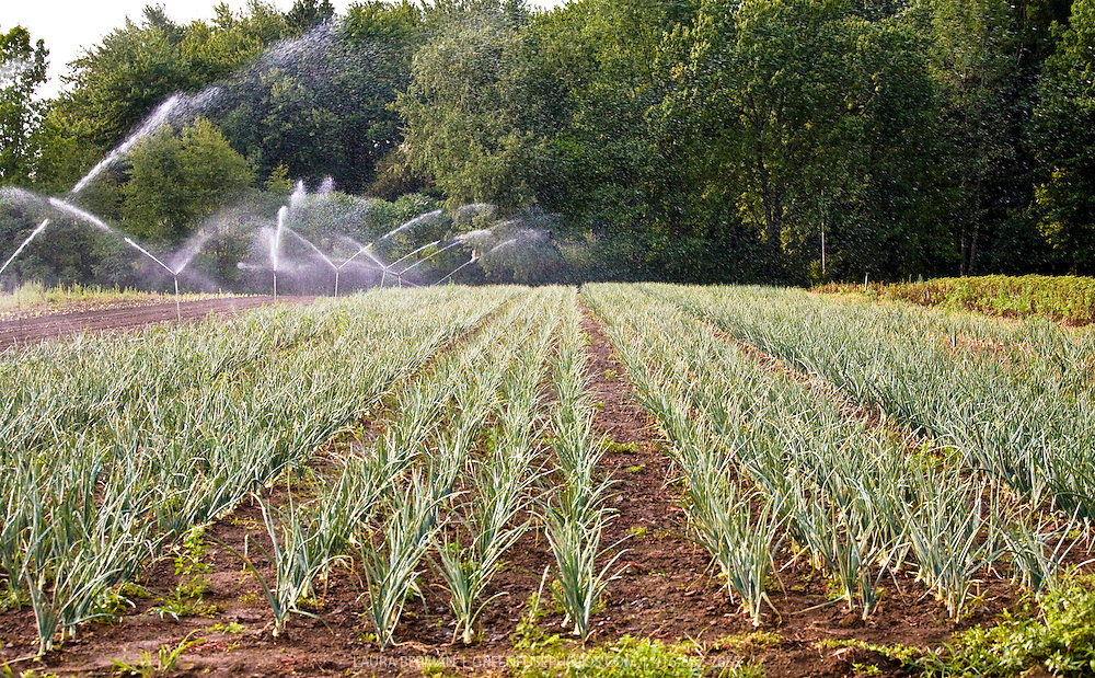 Onion and leek fields under irrigation at Thorpe's Organics near Toronto, Canada. The overhead irrigation heads and the fine spray of water are clearly visible.