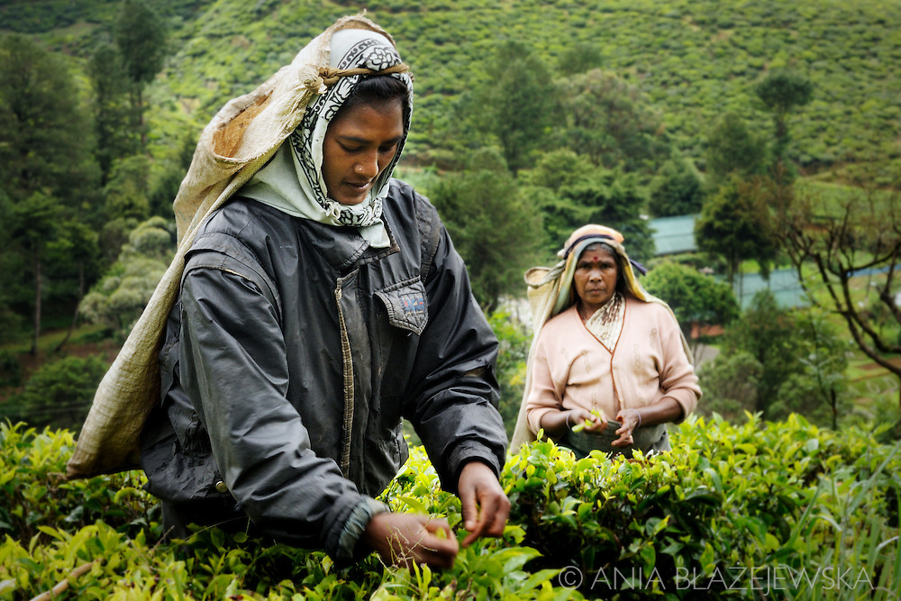 Sri Lanka, Nuwara Eliya. Women picking tea on the tea plantation in the mountains.