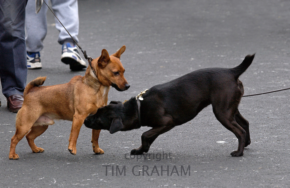 Dogs meet in the street, Stow-on-the-Wold, The Cotswolds, United Kingdom