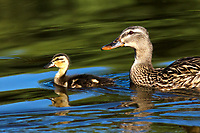 I took this super cute photo of a baby duck swimming with its mother.  The deep blue and green background colors offset the duckling and mom nicely.