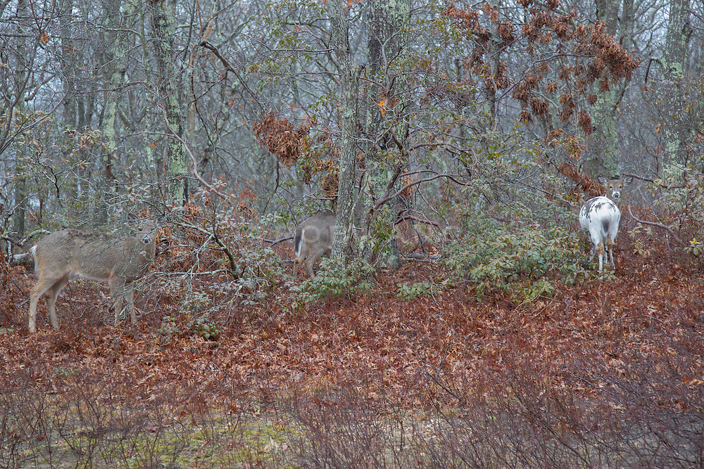 three deer blending into a forest in East Hampton, NY