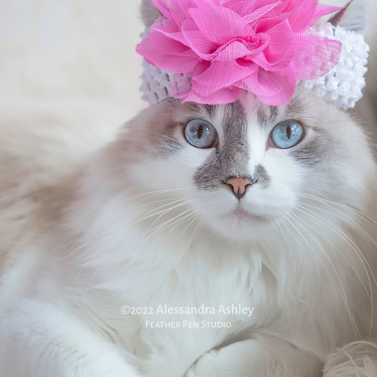 Long-haired, blue-eyed cat looks fashionable in flowered headband.