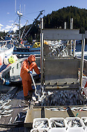 The crew on a tender pumps herring onboard to store in a hold below during the 2007 Sitka Herring Sac Roe fishery.