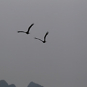 A pair of sea hawks swooping over tourist Junks in Ha Long Bay, Vietnam. The bay consists of a dense cluster of 1,969 limestone monolithic islands. Ha Long Bay, is a UNESCO World Heritage Site, and a popular tourist destination. Ha Long, Bay, Vietnam. 11th March 2012. Photo Tim Clayton