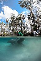 Florida manatee, Trichechus manatus latirostris, a subspecies of the West Indian manatee, endangered. February 16, 2011, CC the manatee is released for a third time. Orphaned as a small 55 pound manatee in 2006, CC goes through three releases and is rescued a few times before he is to be considred a successful release back into the wild. Right after CC is released for the third time with a tracking buoy and a brand on his back, Dr. Robert K. Bonde from USGS, United States Geological Survey's, Sirenia Project, helps gently guide him on where to swim. Vertical orientation split image with personnel who helped release him. Three Sisters Springs, Crystal River National Wildlife Refuge, Kings Bay, Crystal River, Citrus County, Florida USA.