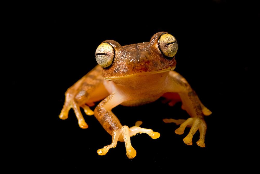 Treefrog in southern Ecuador - Hypsiboas fasciatus