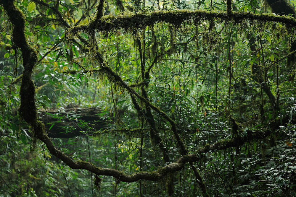 Lianas in the subtropical rainforest, Gaoligongshan NP, Yunnan province, China