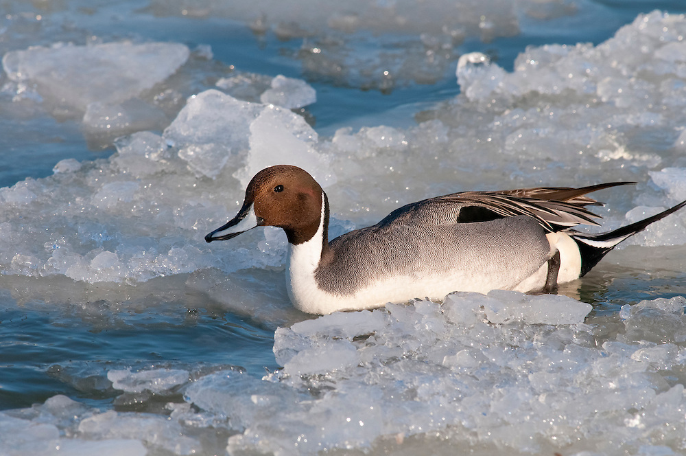 Northern Pintail, Anas acuta, male, Detroit River, Ontario, Canada