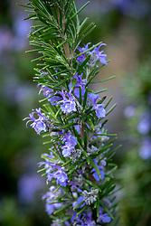 Rosmarinus officinalis var. angustissimus 'Benenden Blue' -  Now corrected to Rosmarinus officinalis 'Vatican Blue'. Rosemary