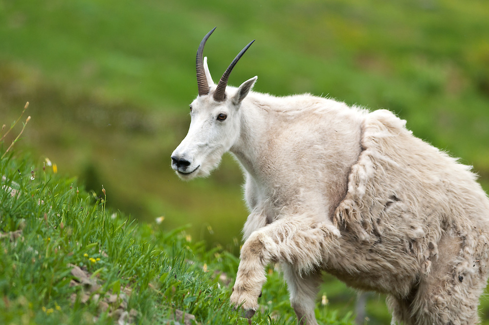 A billy Mountain Goat on Hurricane Ridge, Olympic National Park.