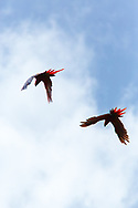 A pair of Scarlet Macaws ( Ara macao cyanoptera ) fly in the fading sunlight, Raspacullo river, Belize.