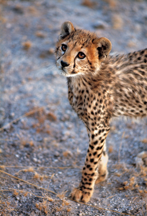 A cheetah cub stands still, for just a moment, in Amboseli National Park, Kenya.