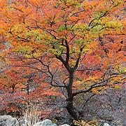 Lenga tree in fall - 11 x 14