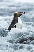 Yellow-eyed Penguin in the surf, Stewart Island, New Zealand