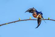 Barn Swallow - Hirundo rustica flying off a branch