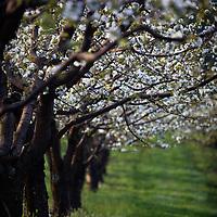 Cherry Orchard, Hood River, Oregon