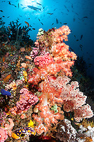 Damsels and Anthias feed in the water column above colorful Soft Corals<br /> <br /> Shot in Indonesia